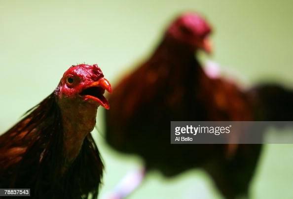 puerto rico cock fight