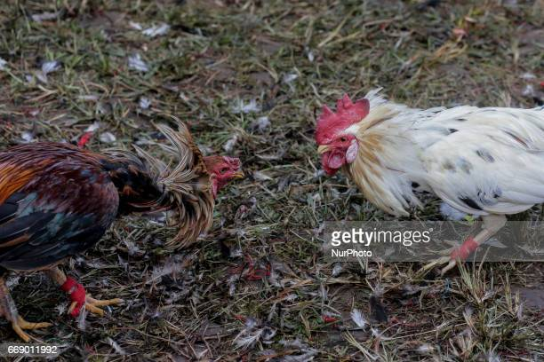 Two roosters is fighting during the sacred Aci Keburan ritual at Nyang Api Temple in Gianyar Bali Indonesia on on April 16th 2017 Cockfighting in...