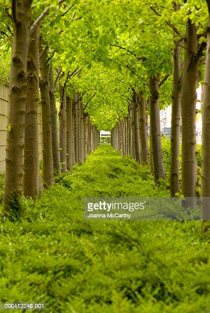 Two rows of trees with underbrush
