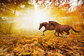 Two horses running in autumn forest, picture for chinese year of horse 2014