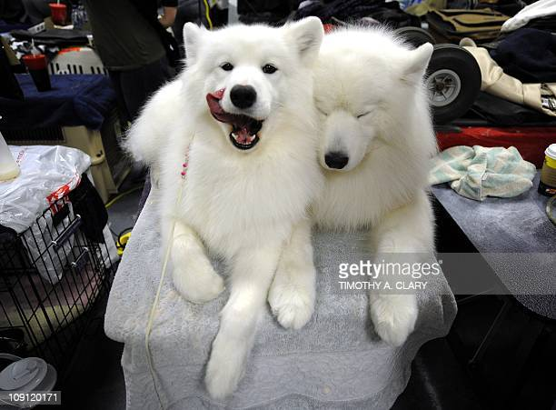 Two Samoyeds getting groomed in the benching area during the 135th Westminster Kennel Club Dog Show at Madison Square Garden in New York February 15...