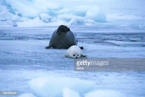 Two seals lying on a snowy land : Stock Photo