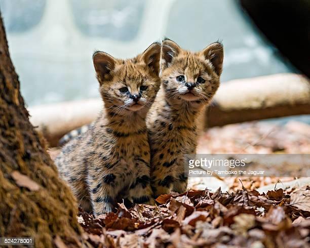 Two serval kittens