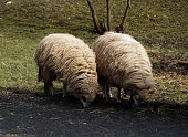 Two Sheep Grazing On Field