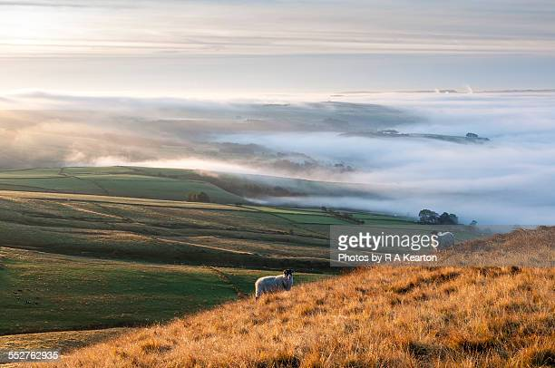 Two sheep on a hillside on a misty morning
