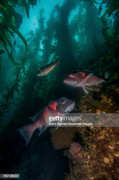 Two sheephead (Semicossyphus pulcher) In a kelp forest, Catalina Island, California.