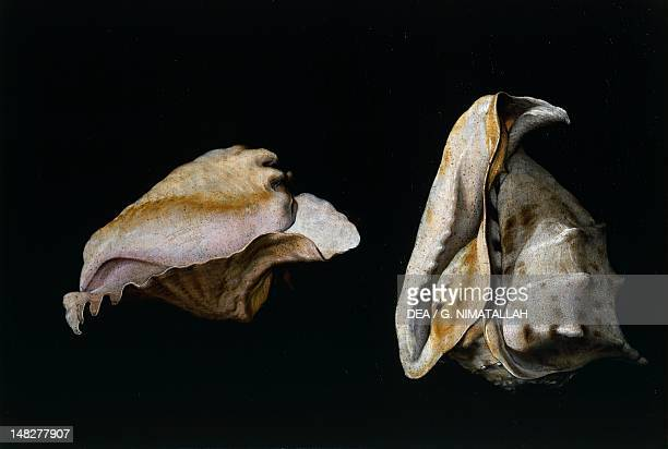 Two shells by Filippo Napoletano Florence Palazzo Pitti Galleria Palatina