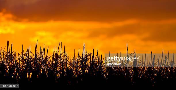 Two shot panoramic Cornfield Under Beautiful Sunset