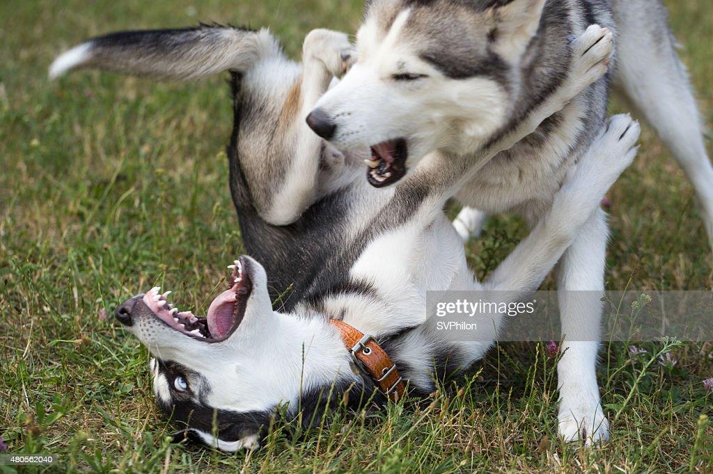 Two Siberian Husky is playing. : Stock Photo