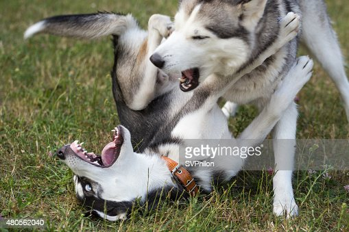 Two Siberian Husky is playing. : Stock Photo