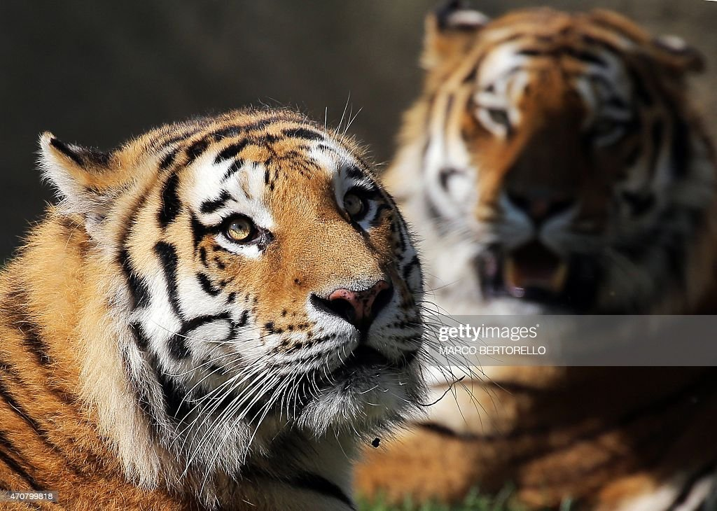 Two Siberian tigers are pictured at Zoom Torino a zoological park in Cumiana near Turin on April 22 2015 Zoom Torino is a new immersive zoological...