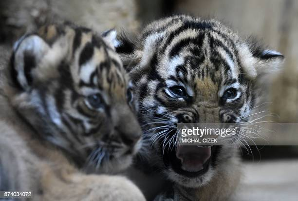 Two sixweeksold Malaysian tiger cubs are pictured in their exclosure on November 14 2017 at the zoo in Prague The baby tigers were born on October 3...