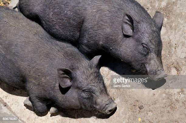 Two sleeping black pigs