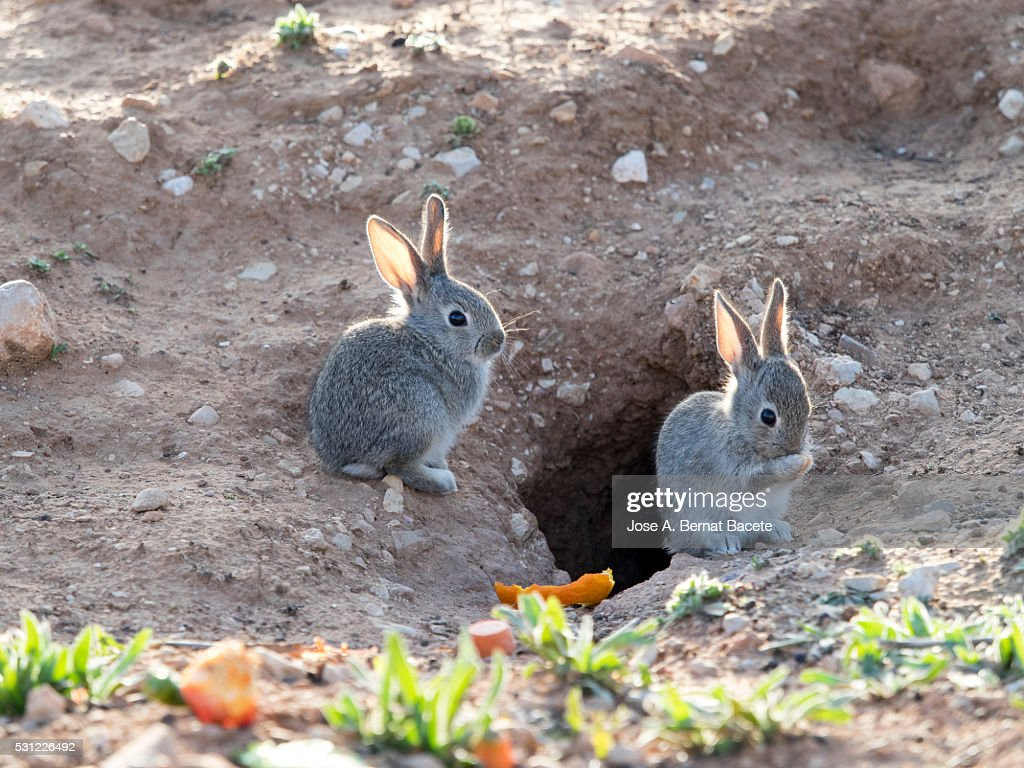 two small babies of rabbit close to his burrow stock photo getty