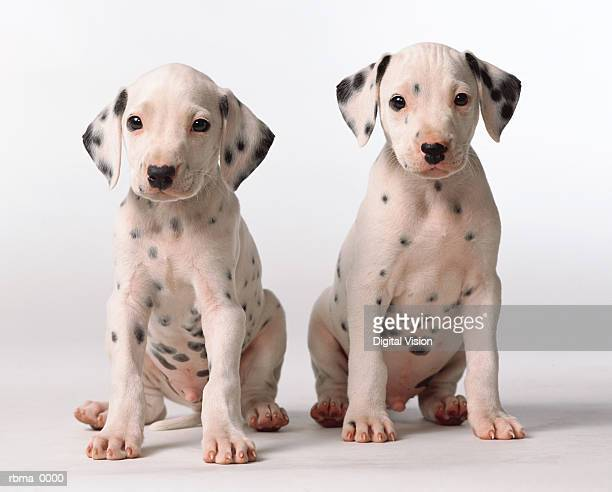 two small black and white dalmatian puppies look questioningly at the camera
