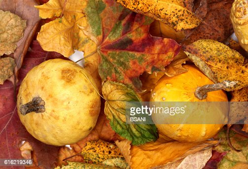 Two small decorative pumpkins on autumn multicolor leafs : Stockfoto