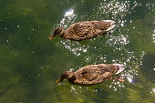 High-Angle shot of two small ducks swimming in a canal