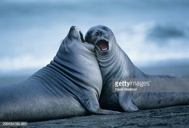 Two southern elephant seals (Mirounga leonina) cheek to cheek