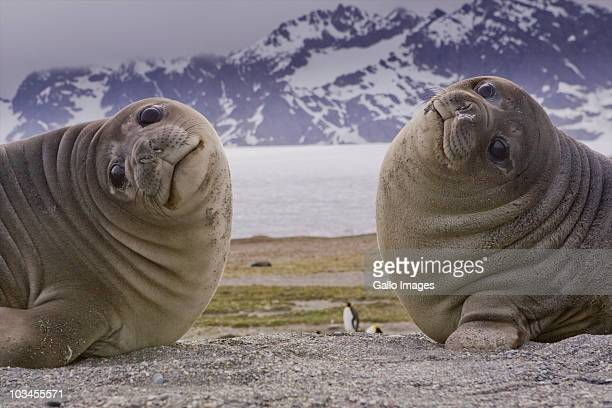 Two Southern Elephant Seals (Mirounga leonine), St. Andrews Bay, South Georgia Island, Southern Atlantic Islands, Antarctica