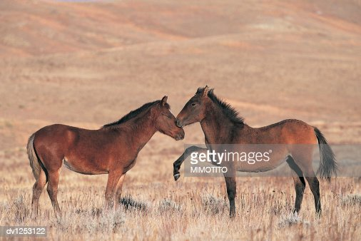 Two Spanish Mustang Horses Rubbing Noses on Prairie in Wyoming, USA : Stock Photo