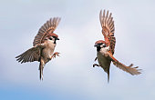 two Sparrow birds fly towards each other widely spreading their wings and feathers against the blue sky in the spring in the garden
