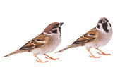 two sparrow isolated on a white background