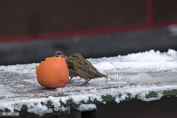 Two sparrows eat a persimmon at the Market on January 14 2017 in Ljubljana Slovenia Most of Slovenia was covered by heavy snowfalls for the first...