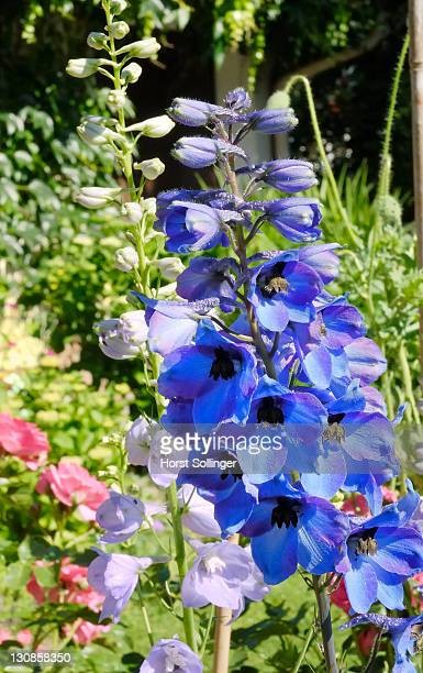 Two species of larkspur, Delphinium elatum, growing in a garden