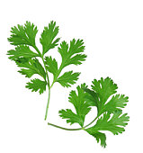 Two branches of coriander cilantro isolated on white