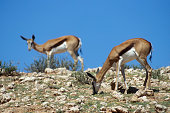Two Springbok grazing in the arid Kalahari desert Kgalagadi Transfrontier Park South Africa