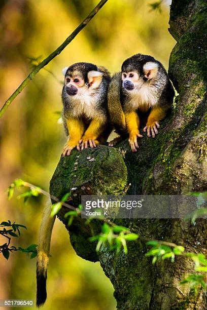 Two squirrel monkeys sitting on gnarly tree