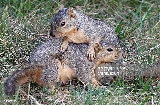 Two squirrels play in Los Angeles California on May 13 2010 The California ground squirrel is a common and easily observed ground squirrel of the...