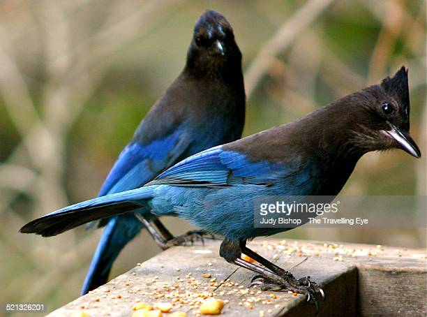 Two Steller's Jays feeding at a wooden railing
