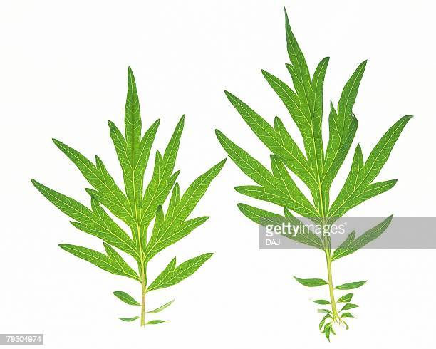 Two Stemmed Leaves, High Angle View, Close Up