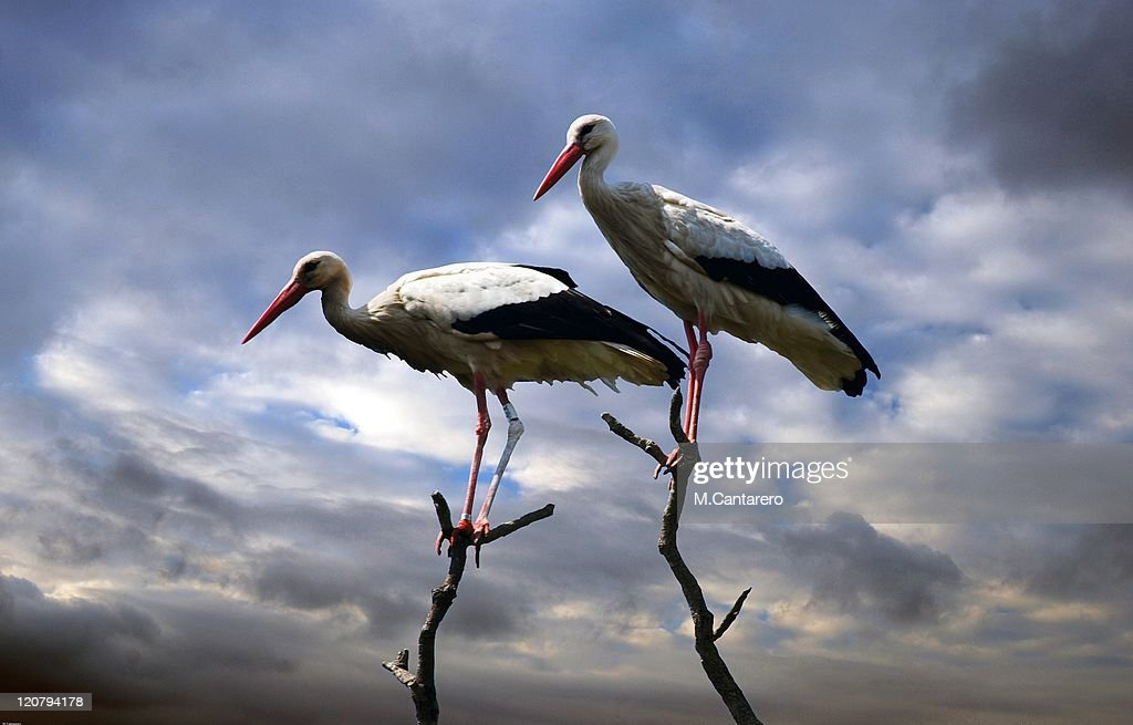 Two storks : Stock Photo