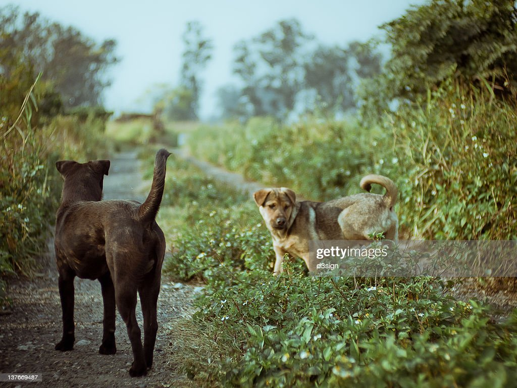 Two stray dogs in countryside : Stock Photo