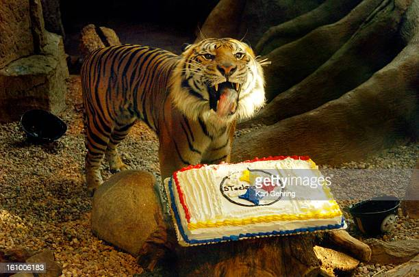 DENVER CO 12005 Two Sumatran tigers at the Downtown Aquarium were presented with a frosted sheetcake decorated with the Pittsburgh Steelers football...