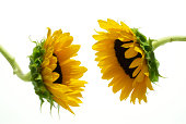 Two sunflowers (Helianthus)