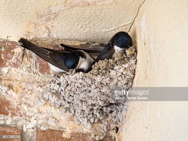 Two swallows with mud in the beak in the nest