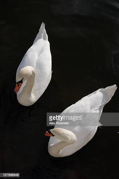 Two Swan on the water