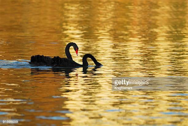 Two swans in last sunlight