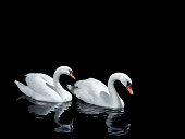 Two swans moving in the same direction with reflec