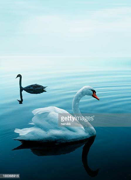 Deux cygnes sur un lac bleu
