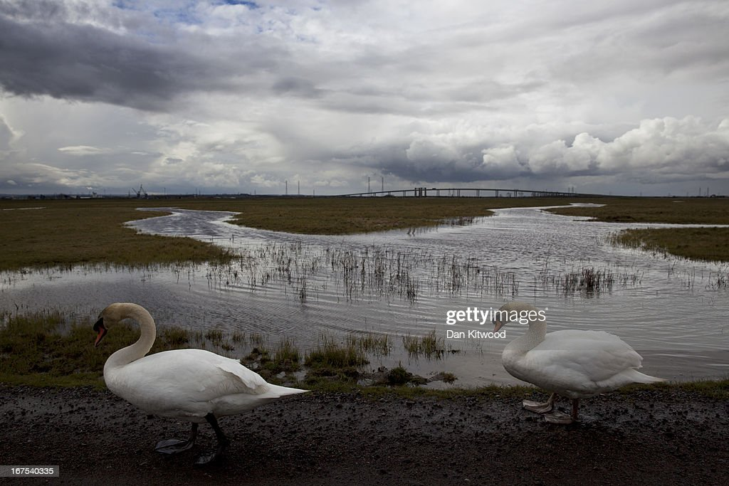 Two swans walk at Elmley Marshes on April 12, 2013 in Sheerness, England. The RSPB's Elmley Marshes lies on the Isle of Sheppy, and is managed by the Elmley Conservation Trust. The three and a half acre reserve has the highest density of breeding waders in southern England including Avocet and Redshank. The area is also known to be one of the best sites in the UK to view birds of prey which include Peregrine Falcon, Marsh and Hen Harriers, Rough Legged Buzzards and Short Eared Owl.