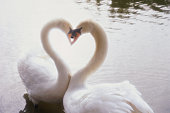 Two swans with heads together and curving necks to form heart shape