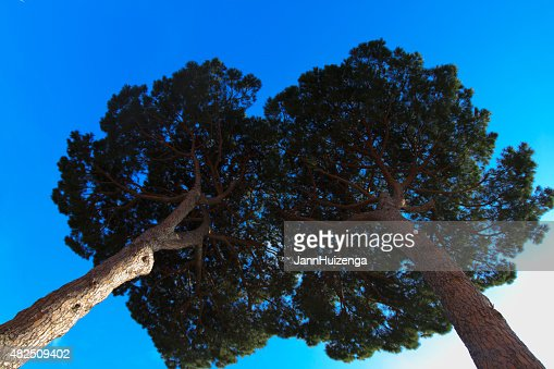 Two Tall Umbrella Pine Trees Seen From Directly Below