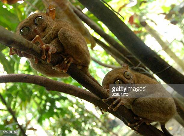 Two Tarsier's stare cling onto trees in a widlife sanctuary in the central Philippine island of Bohol 20 January 2006 The tarsier is the world's...