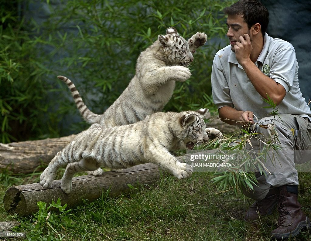 Two threemonthold female white Bengal tiger cubs play with a zoo keeper in their enclosure at the Buenos Aires' Zoo in Argentina on April 17 2014...