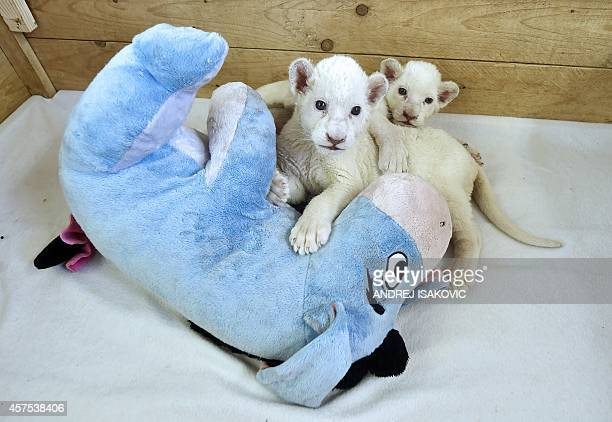 Two threeweekold white lion cubs play with a stuffed donkey toy at Belgrade Zoo on October 20 2014 The two white lion cubs an extremely rare...