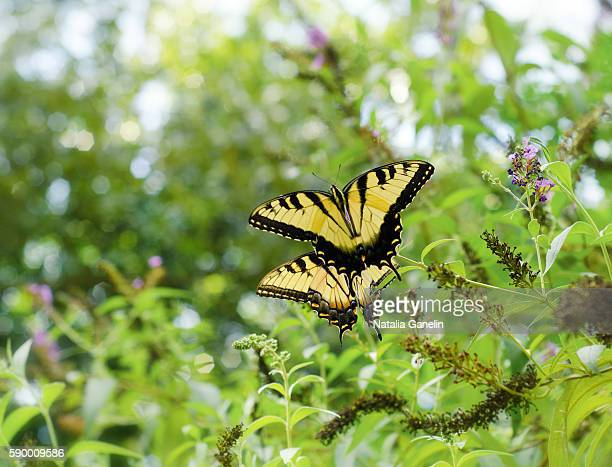 Two tiger swallowtail butterflies sitting among green foliage.